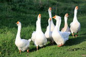 White geese on natural background — Stock Photo