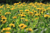 Yellow dandelion flowers in green grass — Stock Photo