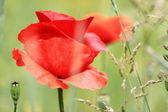 Blossom poppy flowers on the meadow — Stock Photo