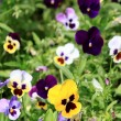 Colorful pansy flowers — Stock Photo #26397325