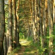 Pine Forest Road — Stock Photo #29691951