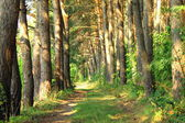 Pine Forest Road — Stock Photo