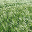 Green wheat — Stock Photo #40530215