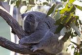Koala durmiendo — Foto de Stock