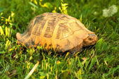 Turtle on sunset light in the grass — Stock Photo