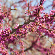 Purple tree blossom in spring — Stock Photo #21744053