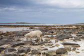 Sheep walking between the rocks during a lowtide in Northern Nor — Stock Photo