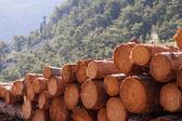 Timber logging — Stock Photo