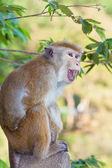 Anger monkey — Stock Photo