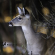 Stock Photo: Yearling Deer