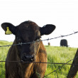 Curious calf looking through barbed wire fence — Stock Photo