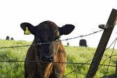 Nyfiken kalv tittar genom taggtrådsstängsel — Stockfoto
