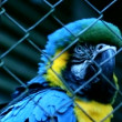 Blue Macaw — Stock Video