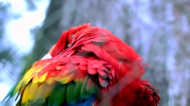 Red Macaw — Wideo stockowe