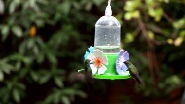 Green Throat Hummingbird — Stock Video