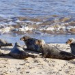 Stock Photo: Grey seal colony on Horsey Beach