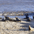 Stock Photo: Alert Grey Seals in England