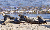 Grey seal colony on Horsey Beach — Stock Photo