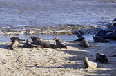 Alert Grey Seals in England — Stock Photo
