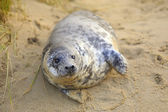 Seal pup on the beach — Stock Photo