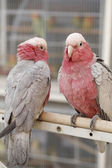 Cockatoos in Doha pet souq — Stock Photo