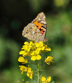 Painted lady wing markings — Stock Photo