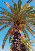Crete date palm tree — Stock Photo