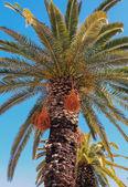 Crete date palm tree — Stock Photo