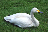 Swan on the grass — Stock Photo