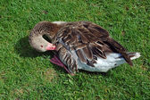 Goose on grass — Stock Photo