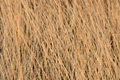 Dried yellow grass — Stock Photo