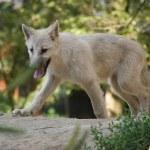 lobo branco — Foto Stock