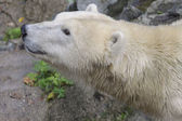 White bear — Foto de Stock