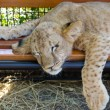 Exhausted young lion cub — Stock Photo #13616958
