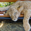 Stock Photo: Exhausted young lion cub