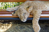 Exhausted young lion cub — Stockfoto