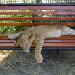Young lion cub resting — Stock Photo