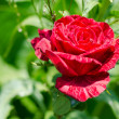 Beautiful single red rose — Stock Photo