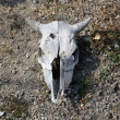 Bleached weathered cattle skull — Stock Photo #13855011