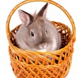 Rabbit sitting in a wicker basket — Stock Photo