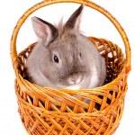 Rabbit sitting in a wicker basket — Stock Photo