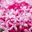 Pretty pink flower inflorescence — Stock Photo
