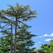 Majestic evergreen pine tree — Stock Photo