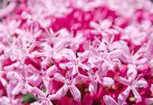 Inflorescencia de flor rosa — Foto de Stock