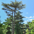 Stock Photo: Majestic evergreen pine tree