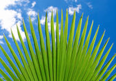 Lush green fan plam frond or leaf — Stock Photo