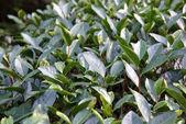 Tea plantation in Fujian Province, China — Stock Photo