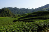 Tea plantation in Fujian Province, China — Photo