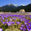 Crocuses in Chocholowska valley, Tatras Mountain, Poland — Stock Photo