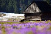 Crocuses in Chocholowska valley, Tatras Mountain, Poland — Stok fotoğraf